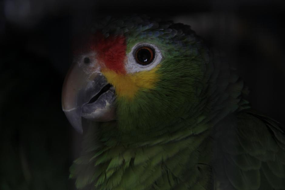 Los animales que no logran rehabilitarse para su liberación son cedidos en último caso a un zoológico para su cuidado. (Foto: Fredy Hernández/Soy502)