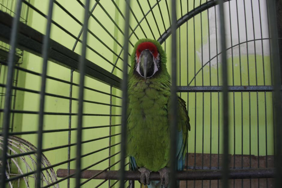 Muchas de estas aves no pueden liberarse debido a que han permanecido en cautiverio por mucho tiempo. (Foto: Fredy Hernández/Soy502)
