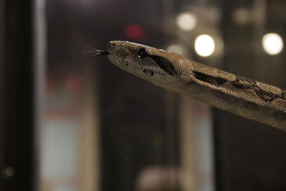 Esta serpiente forma parte de la colección de reptiles que tiene el museo. (Foto: Fredy Hernández/Soy502)