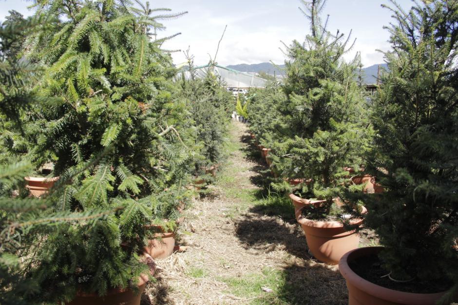 Para que estos árboles tengan esta altura, debieron pasar cerca de seis años. (Foto: Fredy Hernández/Soy502)
