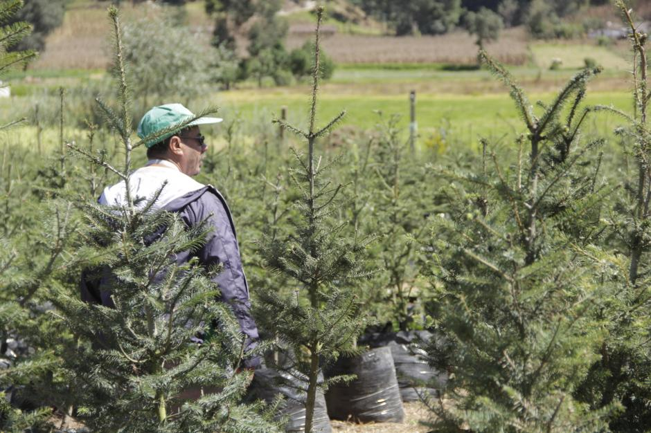 Las semillas para sembrar pinabetes son obtenidas de los bosques naturales bajo un estricto control. (Foto: Fredy Hernández/Soy502)