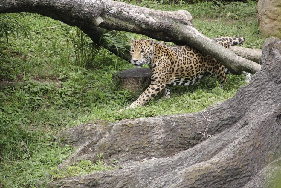 El jaguar es uno de los personajes principales de la obra literaria. (Foto: Fredy Hernández/Soy502)