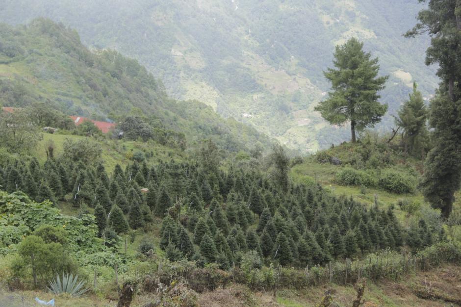 El pinabete se reproduce en las altas montañas del occidente de Guatemala. (Foto: Fredy Hernández/Soy502)