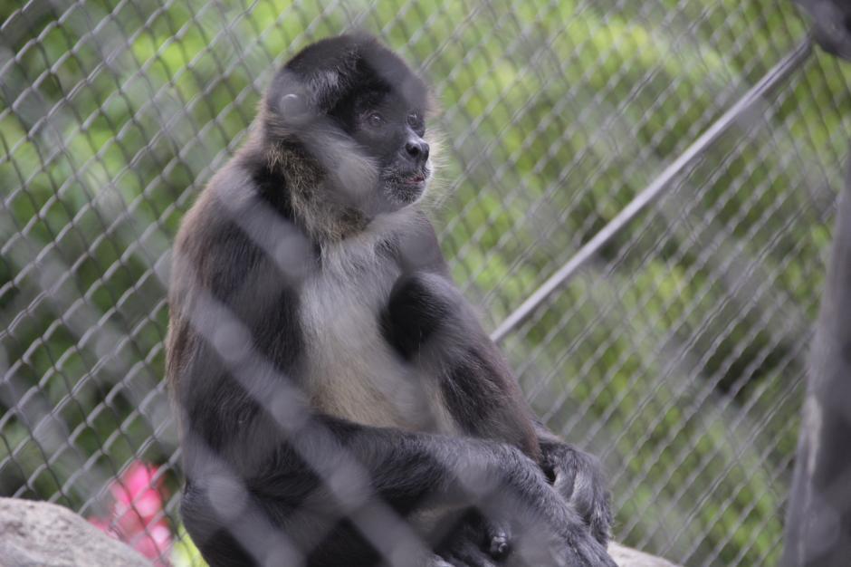 """El """"coy"""" vive en el zoológico La Aurora. Es uno de los animales más divertidos. (Foto: Fredy Hernández/Soy502)"""