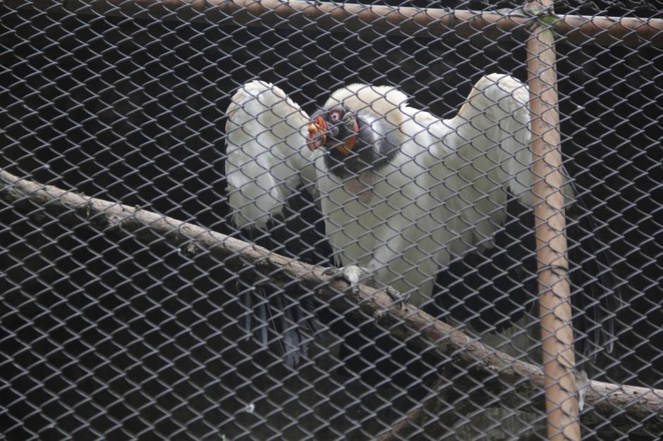 """El zope es conocido como """"Cuch"""" en la historia que habla sobre la fauna guatemalteca. (Foto: Fredy Hernández/Soy502)"""