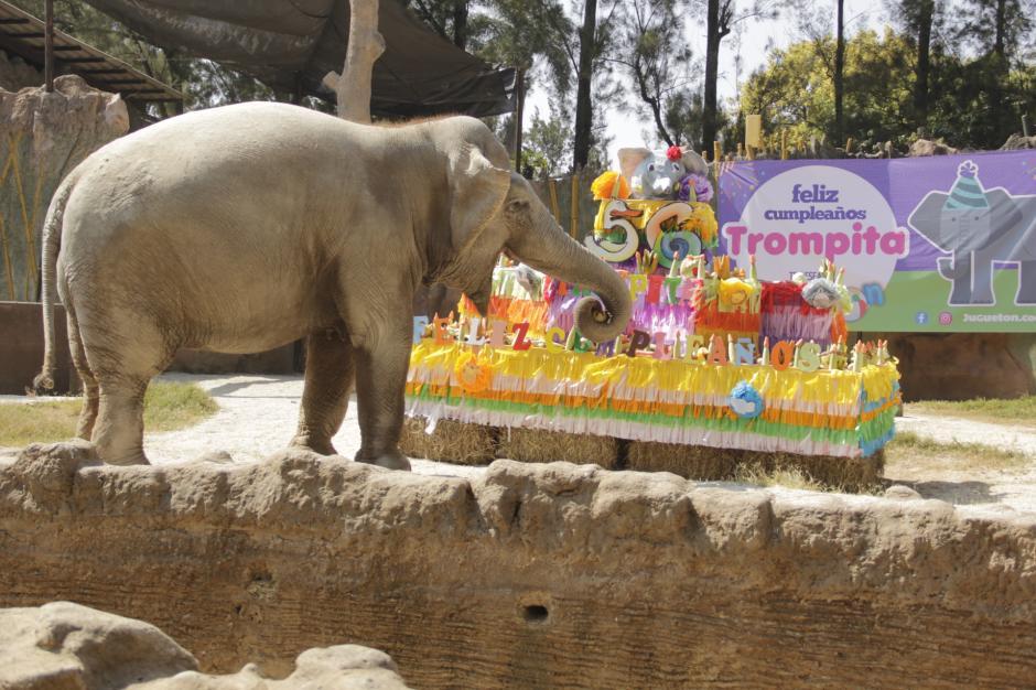 Al ver la sorpresa, Trompita empezó a comer con mucha alegría. (Foto: Fredy Hernández/Soy502)