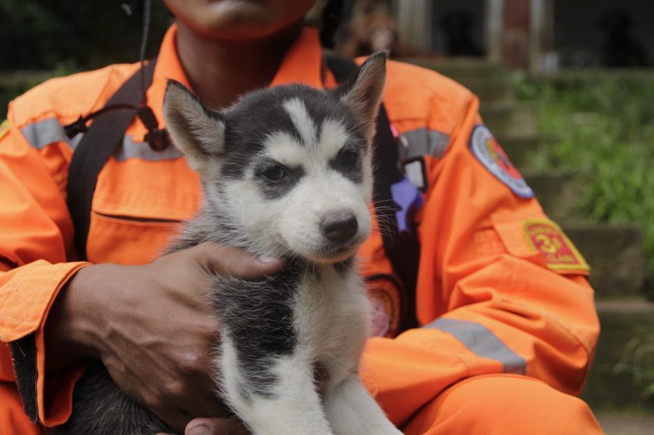 """""""Llama"""" es uno de los perros que fueron donados a la Unidad Canina y así aminorar el dolor de sus compañeros por la partida de """"Rex"""". (Foto: Fredy Hernández/Soy502)"""