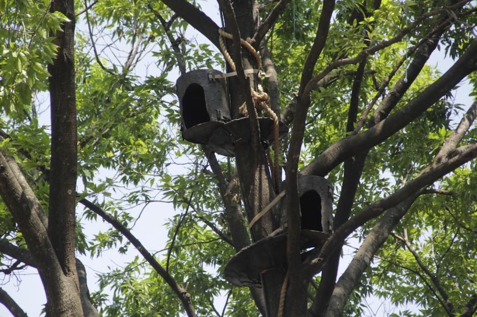 Los monos se desplazan entre dos árboles donde tienen sus casitas. (Foto: Fredy Hernández/soy502)