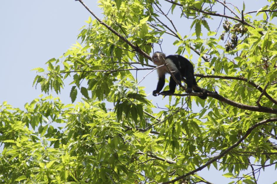 Los monos capuchinos están estrenando un nuevo espacio. (Foto: Fredy Hernández/soy502)