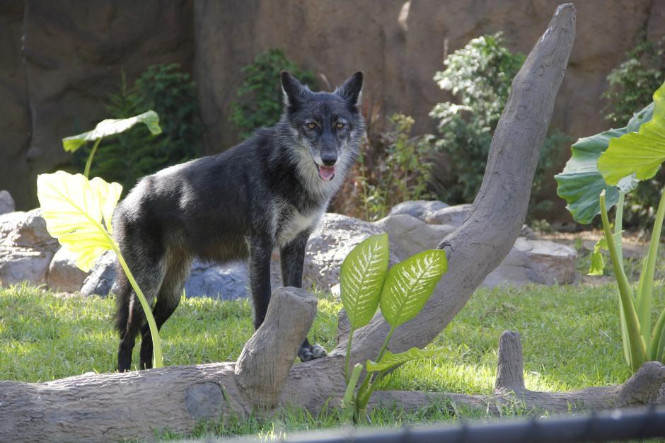 Gretel es la loba gris que los guatemaltecos podrán observar en su recinto. Su pelaje empieza a cambiar de color, según explican los expertos. (Foto: Fredy Hernández/Soy502)