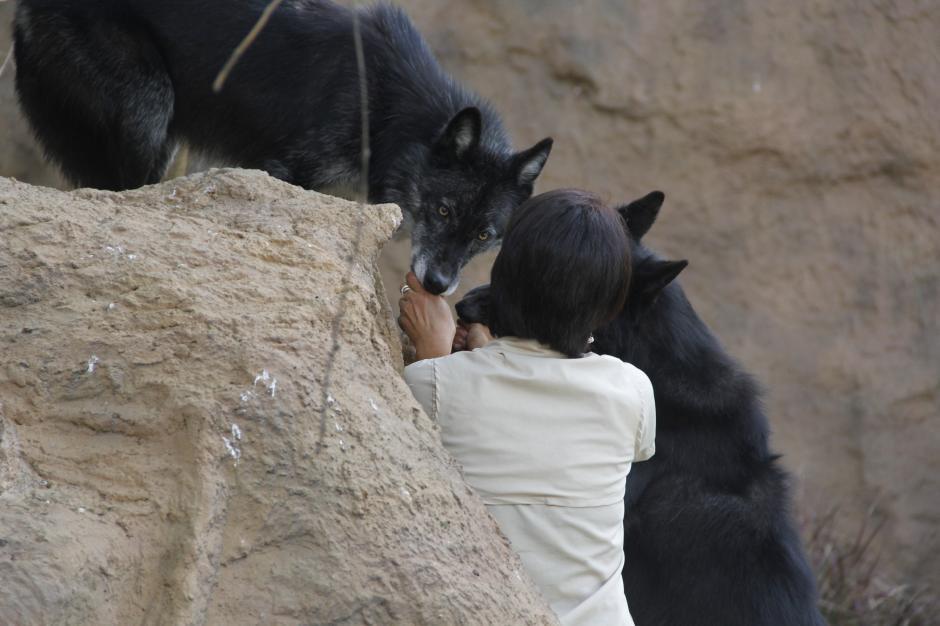 Los dos lobos nacieron el mismo año, pero pertenecen a distinta camada.(Foto: Fredy Hernández/Soy502)