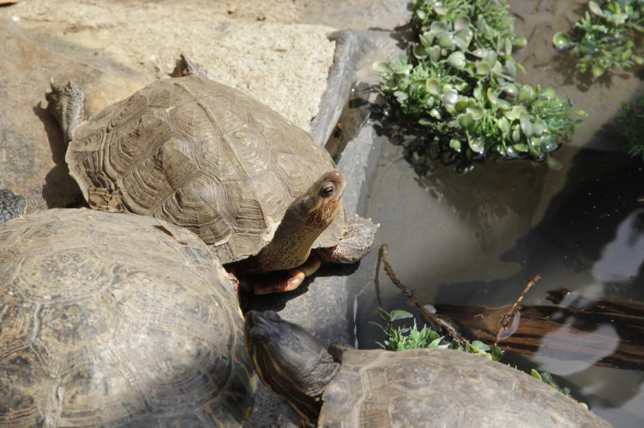 En total, son seis las tortugas que se expondrán por unos seis meses en ese recinto. (Foto: Fredy Hernández/Soy502)
