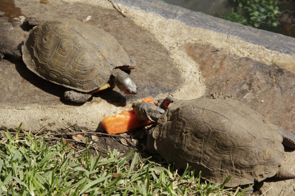 Los visitantes podrán alimentar a las tortugas con frutas o concentrado especial. (Foto: Fredy Hernández/Soy502)