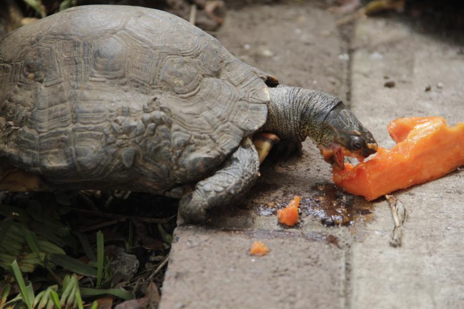 Las tortugas han llegado para darle vida y diversión al museo Miraflores. (Foto: Fredy Hernández/Soy502)