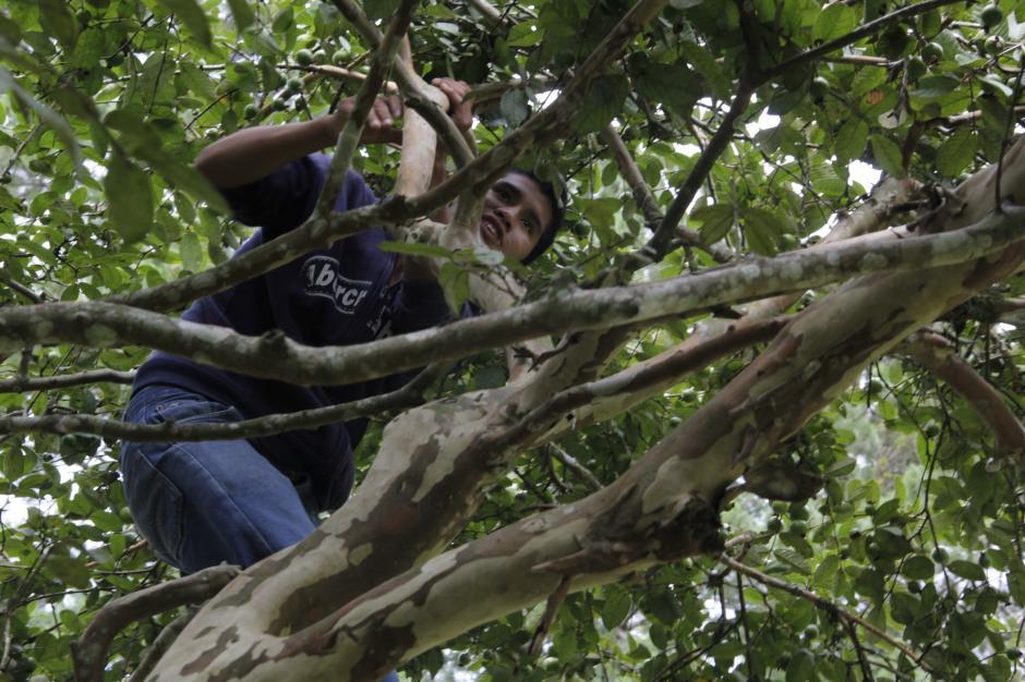 En la finca de San José Pinula algunas personas aprovecharon para cortar frutas.(Foto: Fredy Hernández/Soy502)