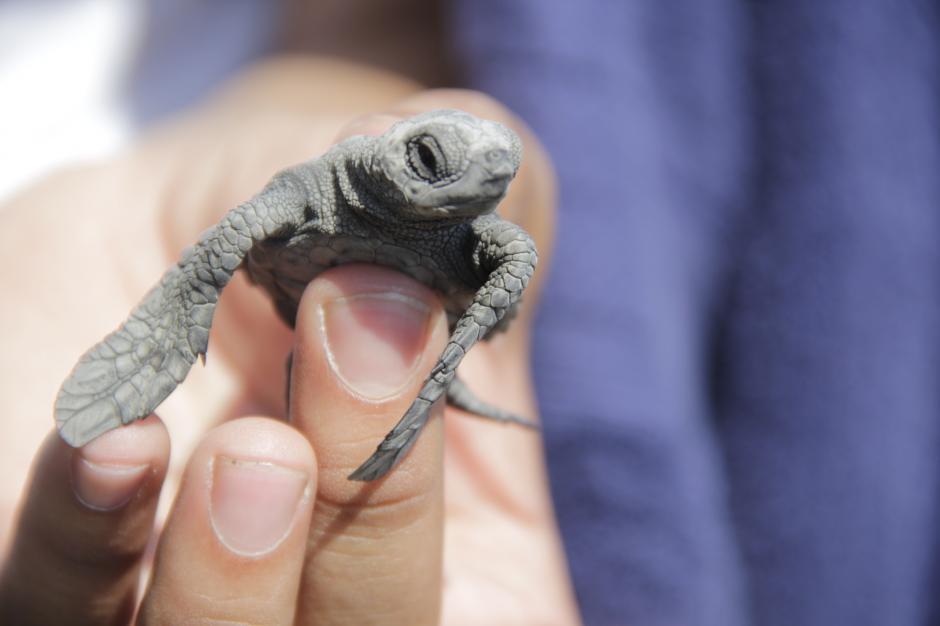 Unas 200 tortugas fueron liberadas en el Comando Naval del Pacífico. De octubre a enero es la temporada de liberación de estas especies en la Costa Sur. (Foto: Fredy Hernández/Soy502)