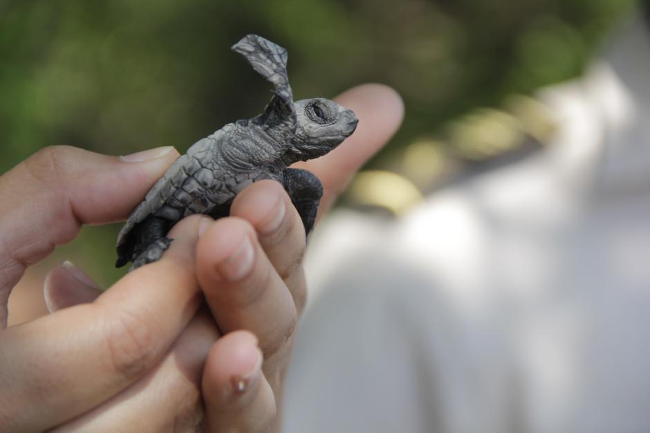 Una tortuga observa a la distancia el mar y agita sus aletas para alcanzar el océano.(Foto: Fredy Hernández/Soy502)