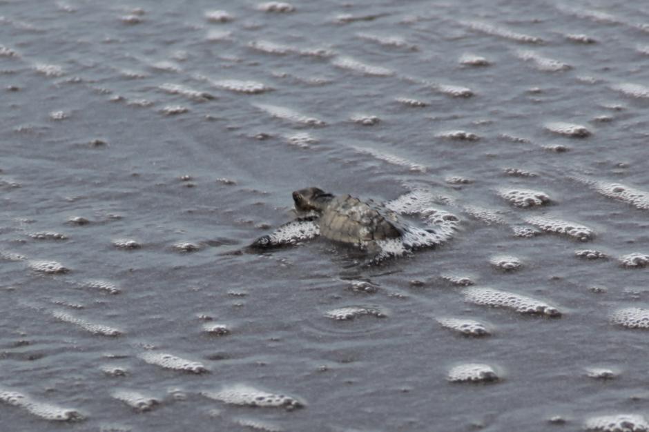 Cerca de 100 tortugas llegaron al mar por primera vez. De sobrevivir a los depreradores naturales y otras circunstancias, pasarán 12 años para que la hembra regrese y ponga sus primeros huevos. (Foto: Fredy Hernández/Soy502)