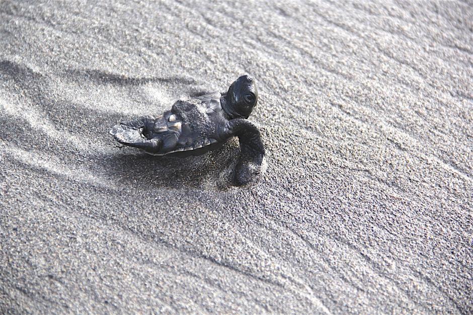 Antes de entrar directamente al mar, esta pequeña tortuga aprovecha para tomar el sol. (Foto: Fredy Hernández/Soy502)