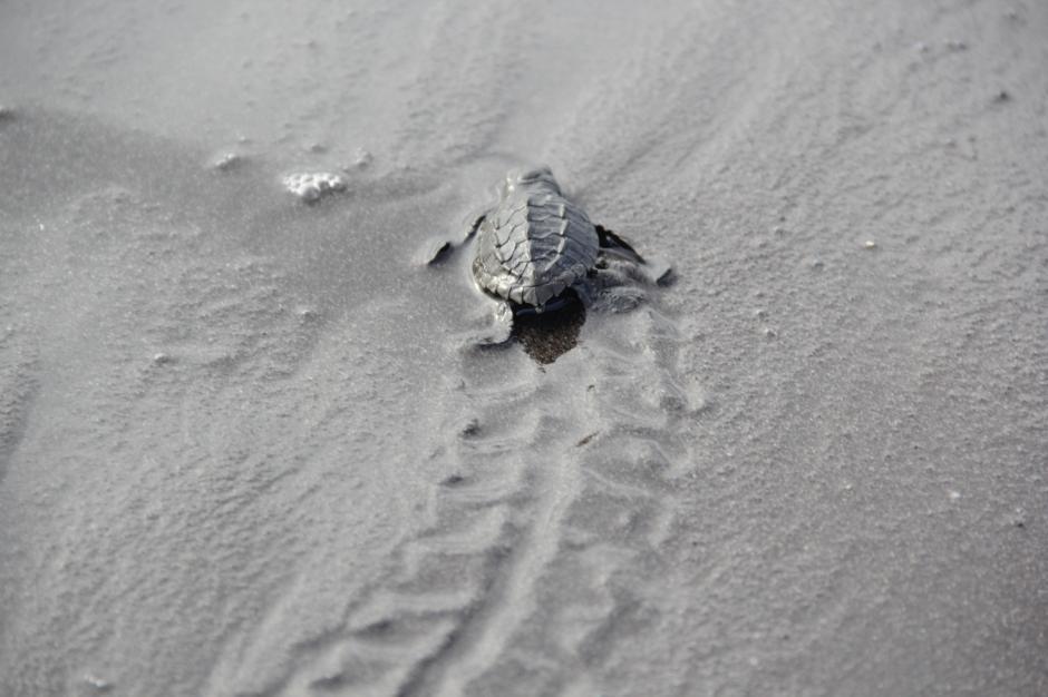 Las pequeñas recorren una considerable distancia mientras dejan huella de su corta estancia en la arena de Sipacate. (Foto: Fredy Hernández/Soy502)
