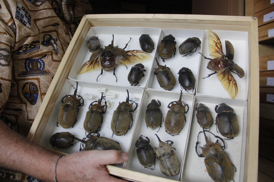 Algunos de estos insectos se guardan en el auditorio de estudios de biología de la Universidad del Valle.(Foto: Fredy Hernández/Soy502)