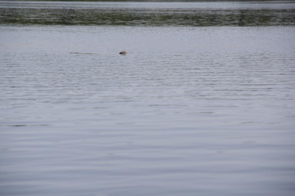 Estas tortugas salen en cuestión de centésimas de segundo para respirar y regresar al fondo. (Foto: Fredy Hernández/Soy502)