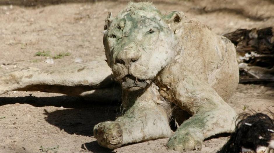 Formaldehído y aserrín fueron las herramientas básicas utilizadas por el dueño del zoológico. (Foto: infobae)