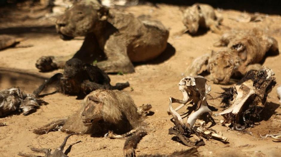 Avestruces, monos, tortugas, ciervos, una llama, un león y un tigre se encuentran entre los animales momificados. (Foto: infobae)