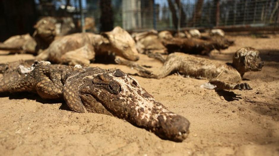Un cocodrilo puede observarse dentro de la ahora colección de animales momificados. (Foto: infobae)