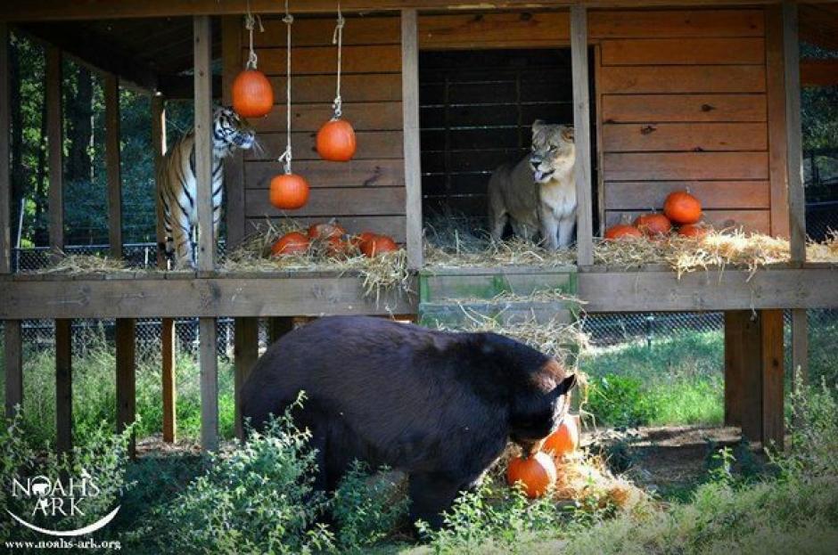 Ahora pasan el resto de su vida en un santuario. (Foto: Noah's Ark Animal Sanctuary)