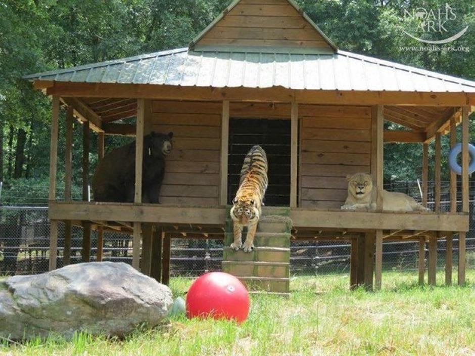 Ahora tienen una casa de madera para descansar. (Foto: Noah's Ark Animal Sanctuary)