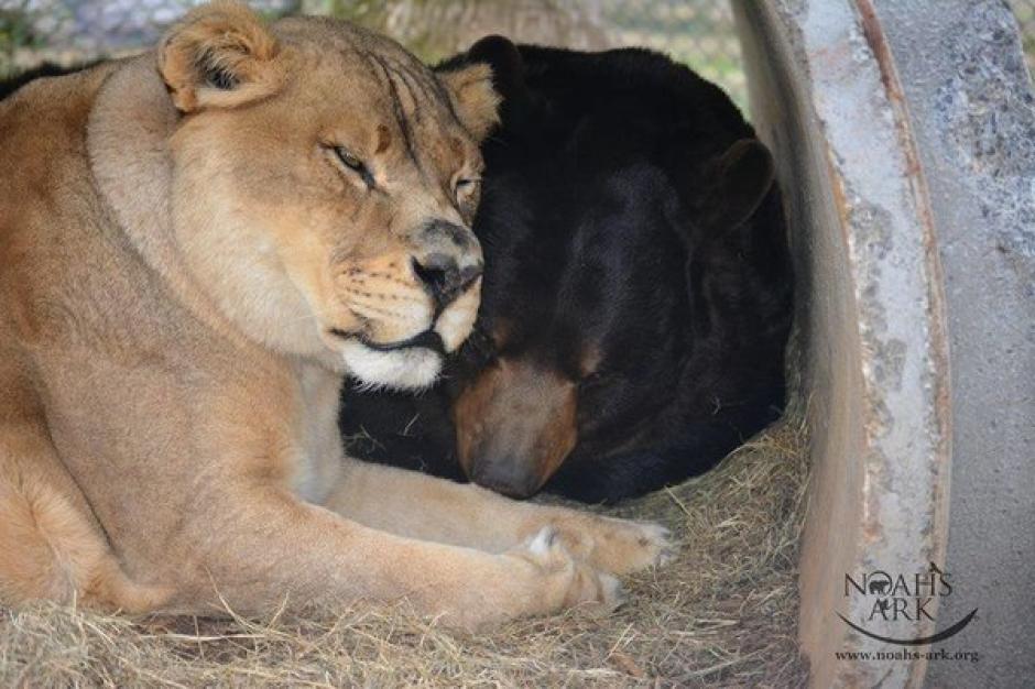 Los tres fueron encontrados en el sótano de un vendedor de droga. (Foto: Noah's Ark Animal Sanctuary)