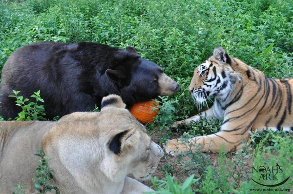 Baloo el oso, Leo el león y Khan el tigre son inseparables. (Foto:Noah's Ark Animal Sanctuary)