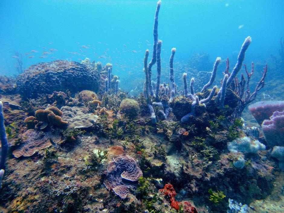 El primer proyecto de restauración de corales en el caribe guatemalteco fue becado por Liderazgo SAM. (Foto: Ana Giró/Arrecifes Saludables)