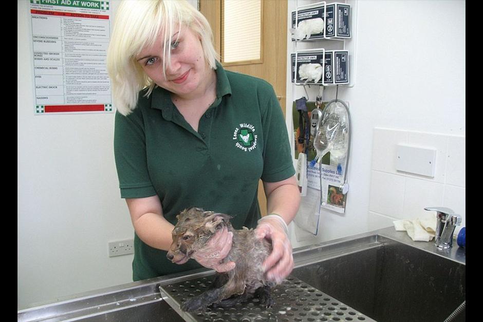 En el hospital veterinario lo lavaron bien y descubrieron que era un pequeño zorro rojo. (Foto: boredpanda.es)