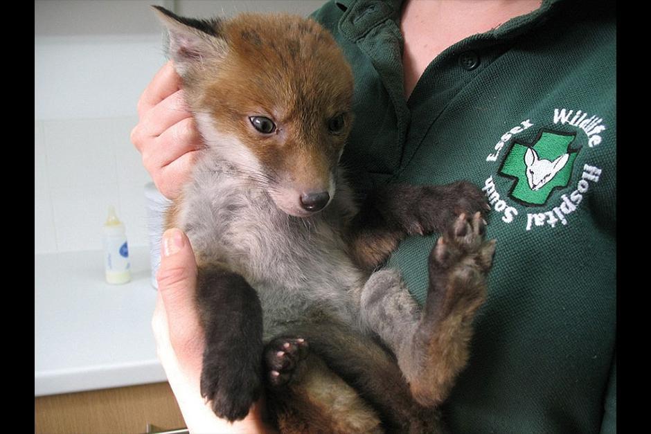 Lo llamaron Muddsey y se aseguraron de que estuviera bien en forma antes de devolverlo a su hábitat. (Foto: boredpanda.es)