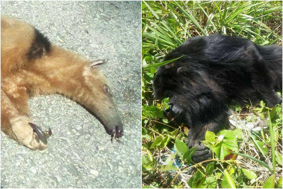 El oso hormiguero y el saraguate perdieron la vida en la ruta de Flores a La Libertad. (Foto: Fundaeco)