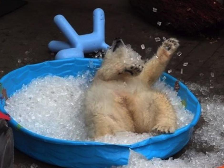 El oso polar jugando en piscina de hielo. (Foto: atresmedia.com)