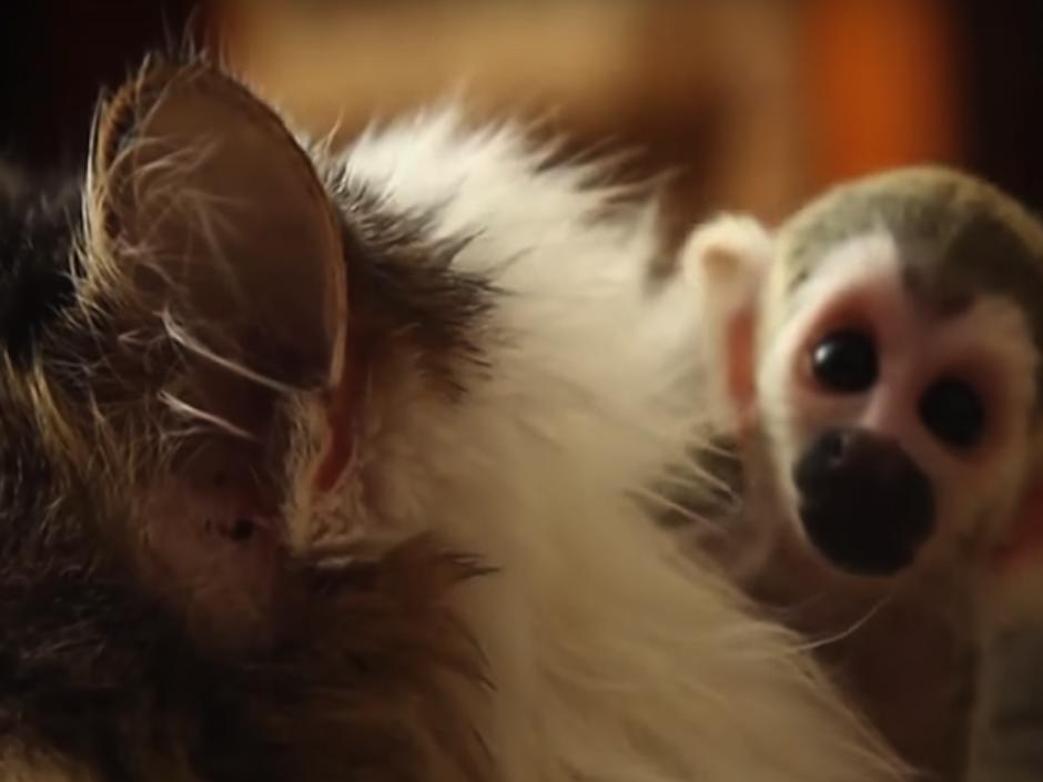 El gatito que adoptó un bebé mono abandonado. (Foto: atresmedia.com)