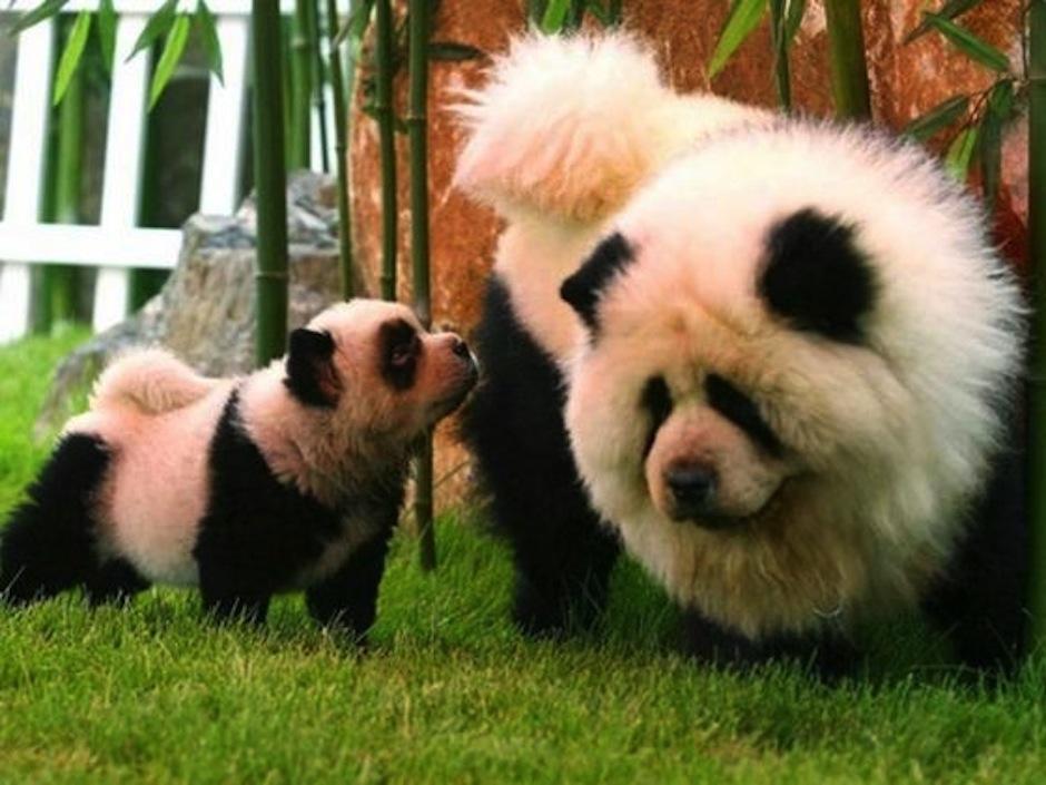 Estos perritos parecidos a un panda. (Foto: atresmedia.com)
