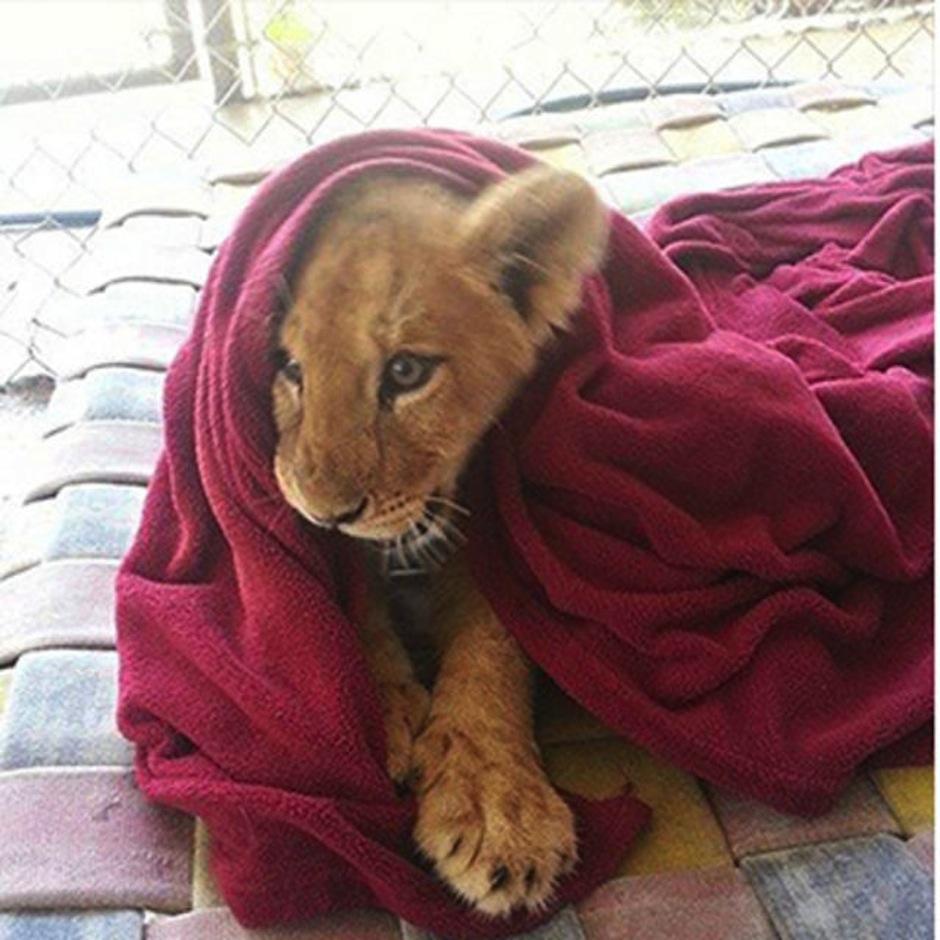 El león rescatado que duerme con mantita. (Foto: atresmedia.com)