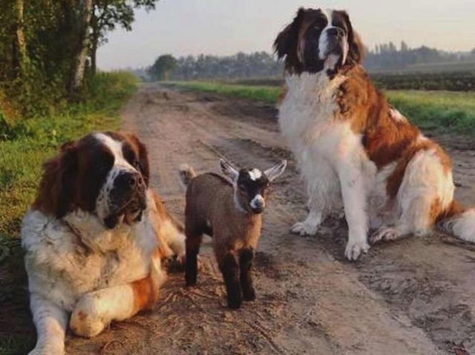 El cabrito adoptado por dos perros. (Foto: atresmedia.com)