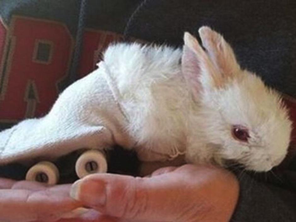 El bebé conejo sin piernas que se mueve con una patineta de juguete. (Foto: atresmedia.com)