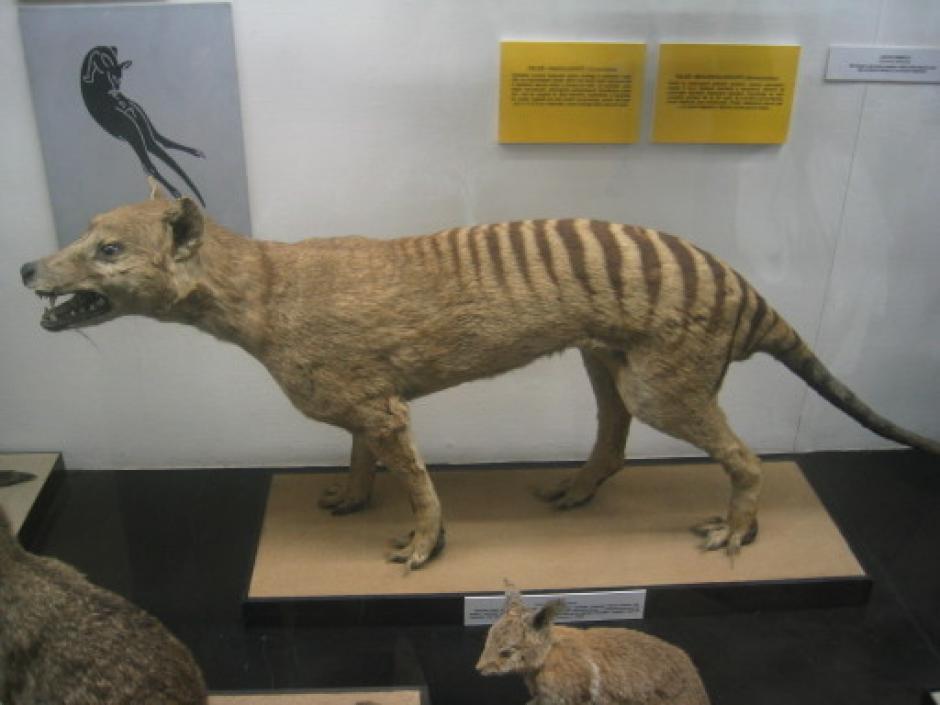 Los tigres de Tasmania fueron considerados extintos y algunos ejemplares están en museos. (Foto: animalesextincion.es)