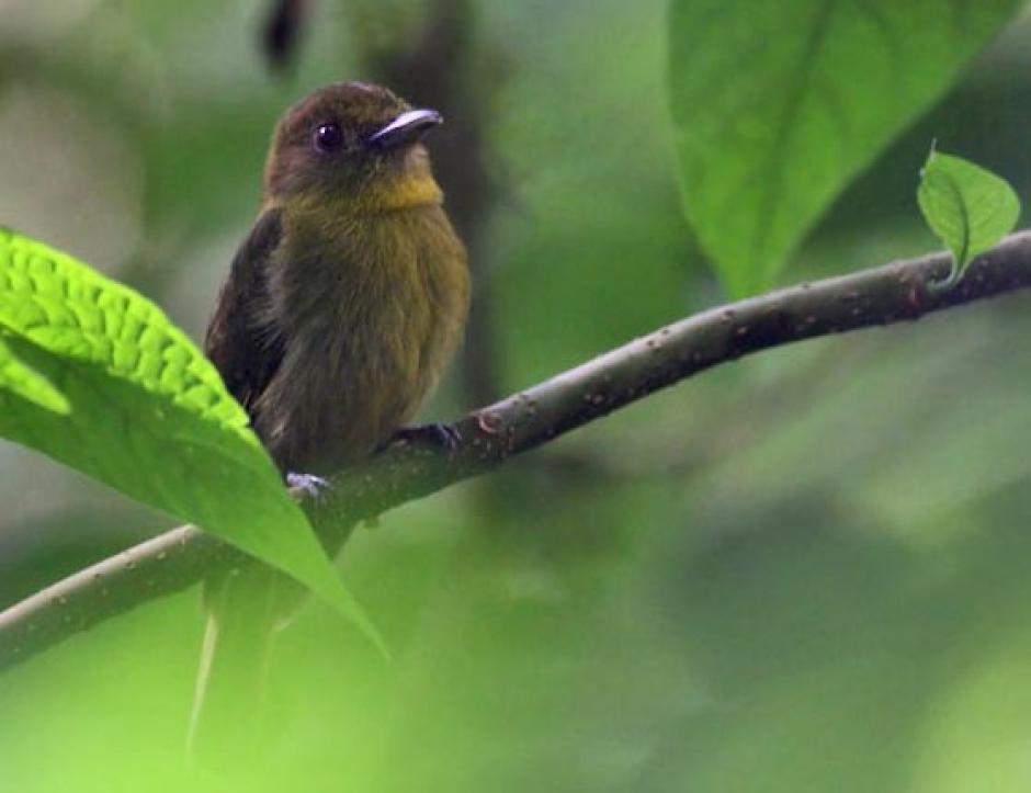 Una de las características del ave es su color oliva. (Foto: Canopy Tower)