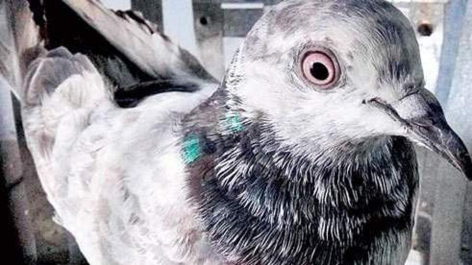 Las palomas eran transportadas en un camión sospechoso y se cree que eran utilizadas para fines insurgentes. (Foto: Kahleej Times)