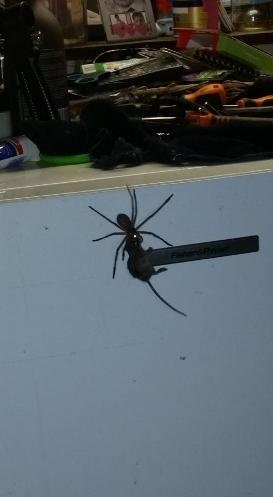 El peso del roedor no impidió que la araña lo arrastrara por varios metros. (Foto: Facebook/Jason Womal)