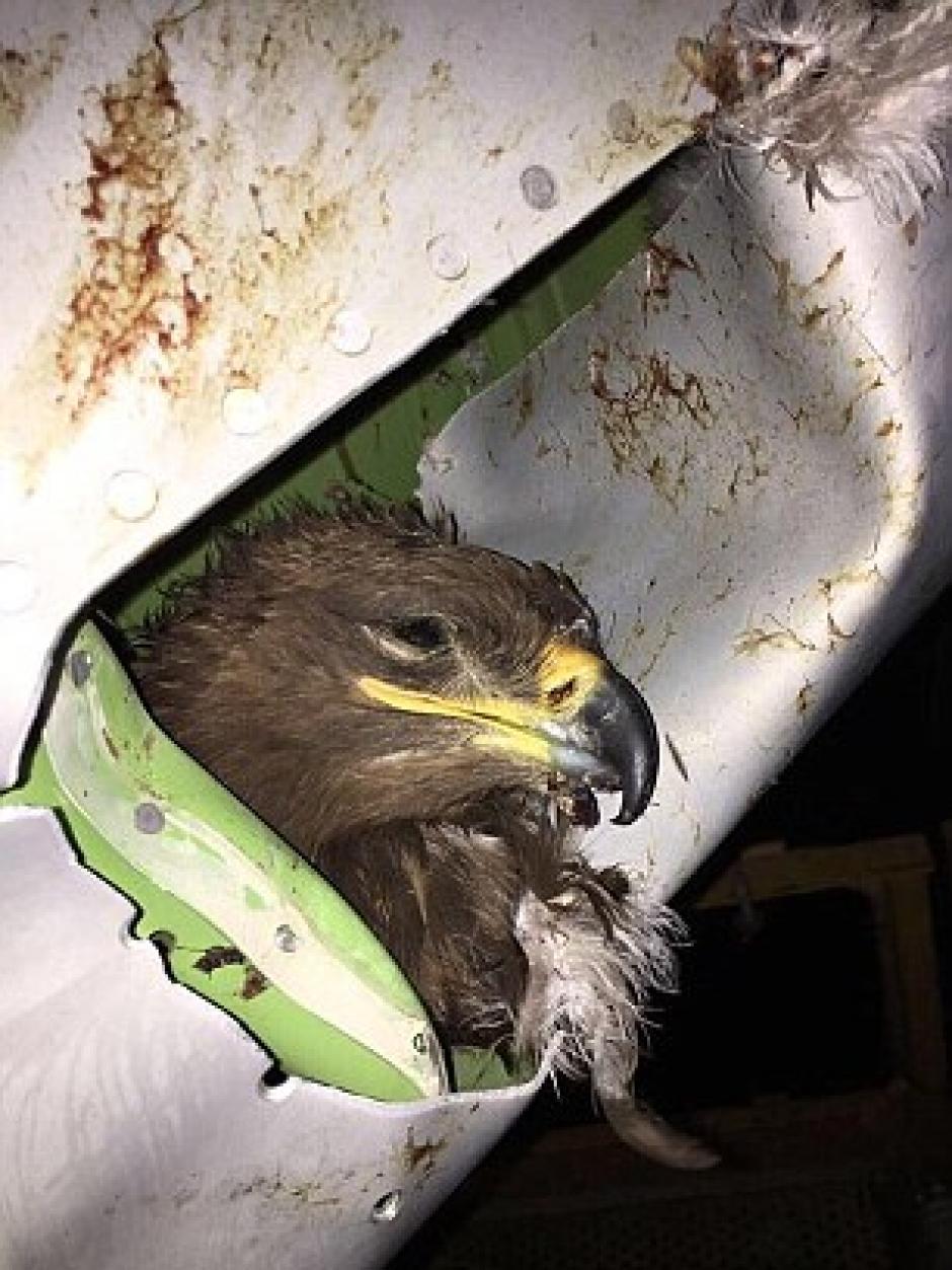 El águila impactó contra el ala del avión en pleno vuelo. (Foto: Daily Mail)