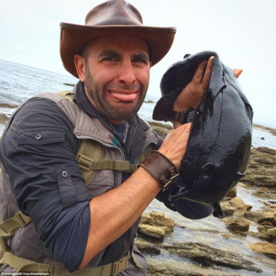 "Estas babosas son conocidas como ""liebres negras de mar"". (Foto: Daily Mail)"