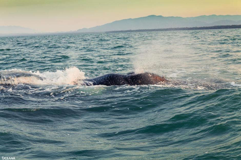 La ballena fue vista por primera vez en Belice en febrero. (Foto: Facebook, Oceana Belize)